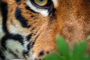 Bengal tiger eye looking