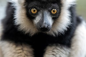 Black and white ruffed lemur portrai