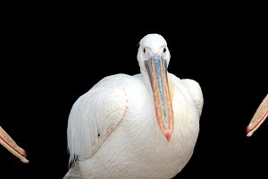 Pelican portrait on black background