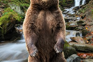 Big brown bear standing on his hind