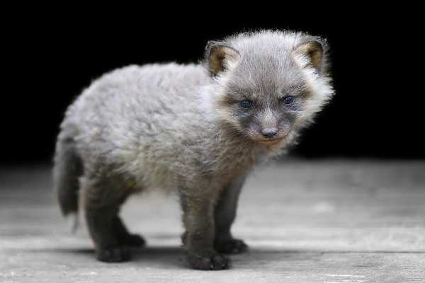 Animal Stock Photos - Baby silver fox