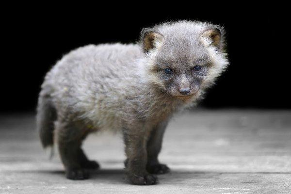 Animal Stock Photos - Baby silver fox