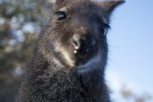 Australian bush wallaby