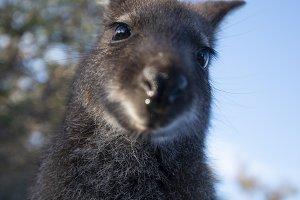 Australian bush wallaby