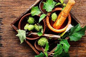 Natural herbs medicine,datura
