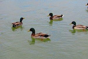 Vivid ducks