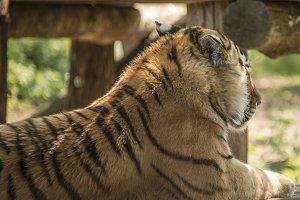 Lying tiger