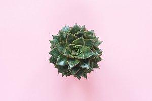 Succulent Plant Stone Rose!