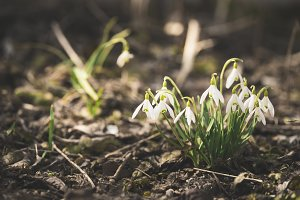 Snowdrop flowers in spring forest