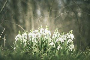Snowdrops in the spring garden