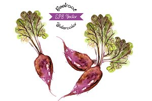 Organic beetroots, watercolor vector