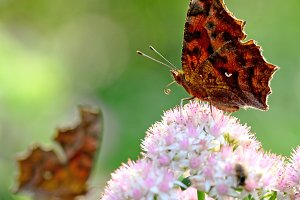 Butterflies Comma