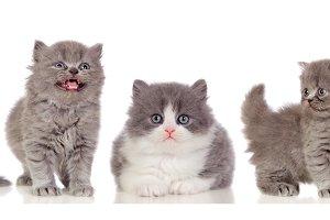 Beautiful grey cats