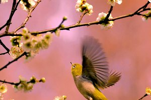 Bird white-eye and cherry blossoms