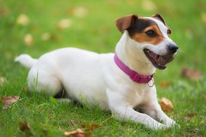 Jack Russell terrier dog in the park