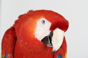 Close up portrait of red parrot
