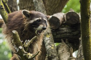 howling raccoon