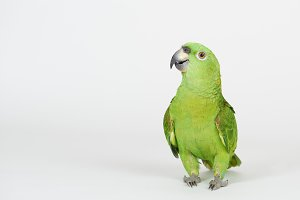 Funny green parrot