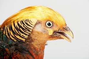 Yellow head of pheasant