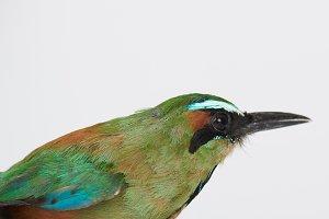 Motmot bird profile