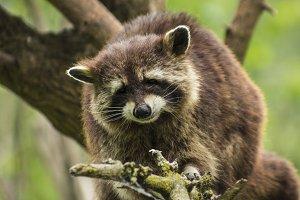A raccoon on the tree