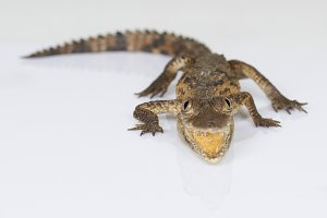 Small alligator with open jaw
