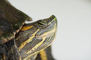 Close-up portrait of colorful turtle