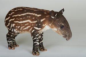 Cute one tapir baby
