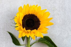 Yellow Sunflower Bouquet on Grey
