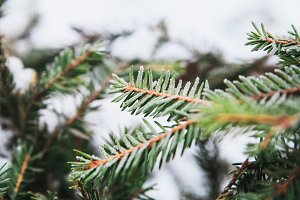 First frost on the fir tree branches