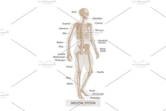 Man Skeletal Anatomy Human Body Illustrations Creative Market