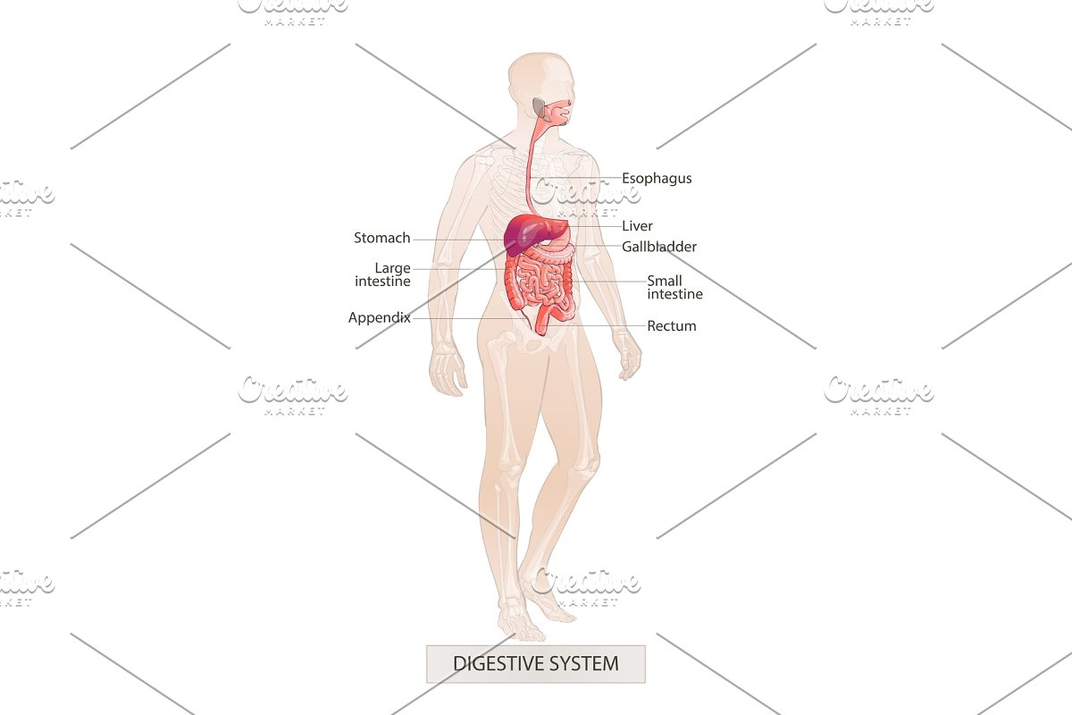 Digestive System Human Body Parts Illustrations Creative Market
