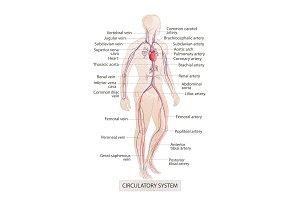 circulatory vascular system. Human