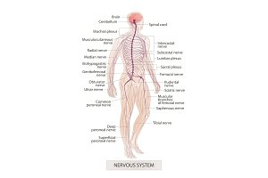 Nervous system. Human body parts
