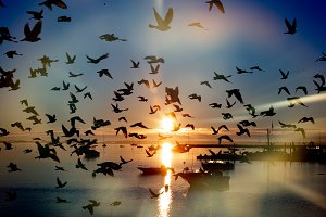 Flock of Gulls at Sunrise