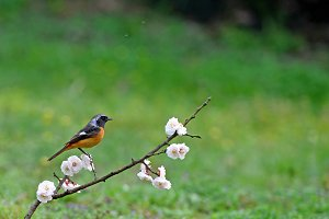 Bird Redstart and Pink Cherry