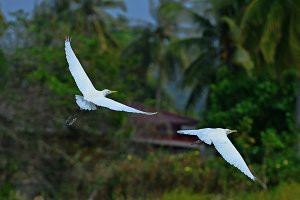 Little egrets small white heron