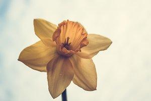 Daffodil #4 - Vintage
