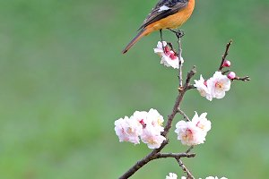 Bird Redstart Pink Cherry Blossoms
