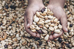 Dried coffee beans in kids hand #1
