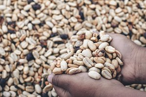 Dried coffee beans in kids hand #2