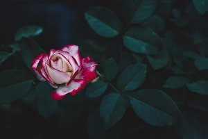 Red rose flower blossom in summer #2