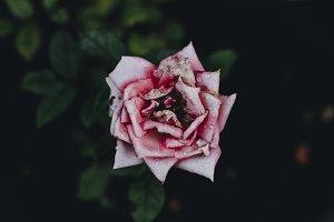 Pink white rose flower blossom