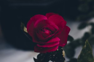Beautiful red rose flower blossom