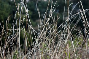 Dry grass stalks in the meadow