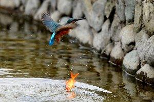Bird kingfisher gold fish got away