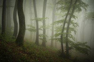 Foggy forest with green trees