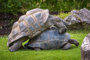 Two Aldabra Giant Tortoises mating