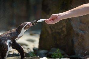 Feeding a Humboldt penguin