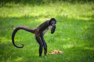Portrait of Geoffroy's Spider Monkey